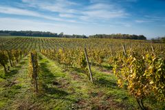 Reihen des Weinbergs mit blauem Himmel nachdem dem Ernten Lizenzfreie Stockbilder
