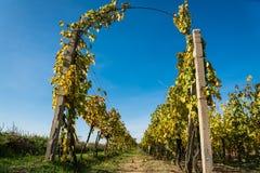 Reihen des Weinbergs mit blauem Himmel nachdem dem Ernten Lizenzfreie Stockfotos