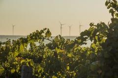 Reihen des Weinbergs und der Windkraftanlagen Lizenzfreies Stockfoto