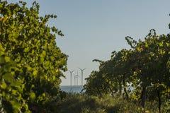 Reihen des Weinbergs und der Windkraftanlagen Lizenzfreie Stockfotos