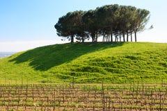 Reihen des Weins Stockfoto