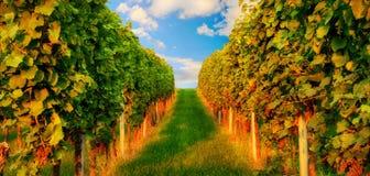 Reihen des Weinstocks im warmen Sonnenlicht Stockbilder