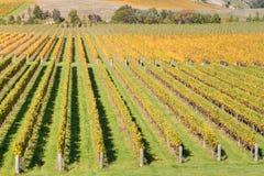 Reihen des Weinstocks im Weinberg nach Ernte Stockbild
