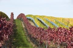 Reihen eines Weinbergs Stockbild