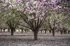 Reihen-Mandelbäume, die mit den rosa und weißen Blumen im Obstgarten blühen Lizenzfreies Stockfoto