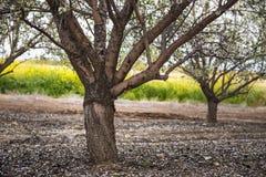 Reihen-Mandelbäume, die mit den rosa und weißen Blumen im Obstgarten blühen Stockfotografie