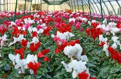 Reihen Vasen Blumenveilchen und cyclamen Stockfotos