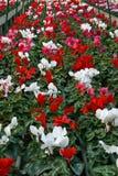 Reihen Vasen Blumenveilchen und cyclamen Vertikale Lizenzfreie Stockfotografie