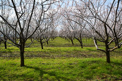 Reihen von blühenden Mandelbäumen in einem Obstgarten Stockbild