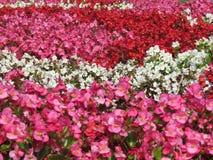 Reihen von Blumen in den Farben: Rosa, Rot und Weiß Stockfotos