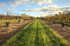 Reihen von Cherry Trees Lizenzfreie Stockfotografie