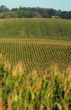 Reihen von cornstalks auf einem Bauernhof Stockbilder