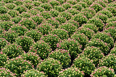Reihen von dekorativen Chrysanthemenanlagen Lizenzfreie Stockfotografie