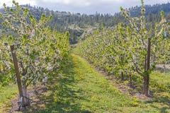 Reihen von den Apfelbäumen bedeckt in den weißen Blumen im April stockfotografie