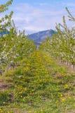 Reihen von den Apfelbäumen bedeckt in den weißen Blumen mit Berg im Hintergrund lizenzfreies stockbild