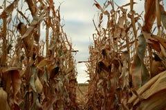 Reihen von den getrockneten Maisanlagen bereit zu ernten Stockfotos