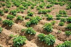 Reihen von den Grünpflanzen, die auf dem Bauernhof-Gebiet wachsen Lizenzfreies Stockbild