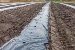 Reihen von den Himbeerschößlingen, die auf der Landwirtschaft gepflanzt werden, bewirtschaften Lizenzfreie Stockbilder