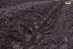 Reihen von den Himbeerschößlingen, die auf der Landwirtschaft gepflanzt werden, bewirtschaften Stockfoto