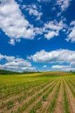Reihen von den Maispflanzen, die auf dem Gebiet unter blauem Himmel wachsen Stockbild