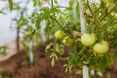 Reihen von den Tomaten, die in einem niederländischen Gewächshaus reifen stockbild