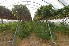 Reihen von Erdbeeranlagen an einem ` wählen Ihren eigenen Bauernhof nahe Nairn aus stockbilder