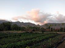 Reihen von Ernten und von Papayabäumen bei Kahumana bewirtschaften lizenzfreies stockfoto