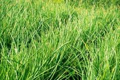 Reihen von Frühlingszwiebeln Stockbild