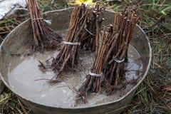 Reihen von getränkten Himbeersämlingsschößlingen Lizenzfreies Stockfoto
