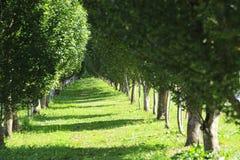 Reihen von jungen Bäumen Stockfotografie