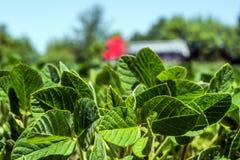 Reihen von jungen, grünen Sojabohnen, von Unkraut-freien Krankheiten und von Insekten gegen den Hintergrund der Straße mit dem Fa lizenzfreies stockfoto