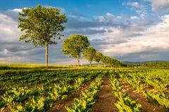Reihen von jungen Grünpflanzen auf einem fruchtbaren Feld mit dunklem Boden im warmen Sonnenschein unter drastischem Himmel Stockbild