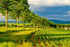Reihen von jungen Grünpflanzen auf einem fruchtbaren Feld mit dunklem Boden im warmen Sonnenschein unter drastischem Himmel Stockfoto