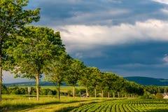 Reihen von jungen Grünpflanzen auf einem fruchtbaren Feld mit dunklem Boden im warmen Sonnenschein unter drastischem Himmel Stockfotos