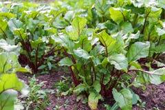 Reihen von jungen organischen Sprösslingen von den roten Rote-Bete-Wurzeln, die im Garten wachsen lizenzfreies stockbild
