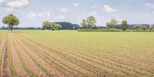 Reihen von kleinen Maisanlagen gleich nach dem Regen Stockbilder