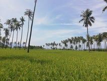 Reihen von Kokosnussbäumen auf einem Reisgebiet stockfoto
