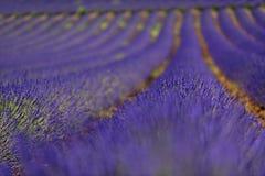 Reihen von Lavendelanlagen auf einem Gebiet Stockfoto