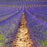 Reihen von Lavendelblumen Lizenzfreie Stockfotos