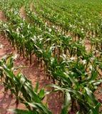 Reihen von Mais Stockfoto