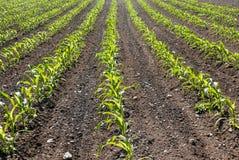 Reihen von Mais lizenzfreie stockfotos