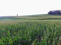 Reihen von Mais auf Ackerland in einer südlichen York County Stadt Shrewsbu lizenzfreie stockfotos