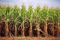Reihen von Mais betriebsbereit zur Ernte Stockfotografie
