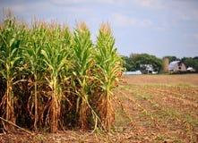 Reihen von Mais betriebsbereit zur Ernte Stockfotos