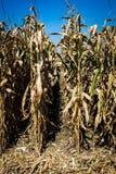 Reihen von Mais in der Farbe stockbilder