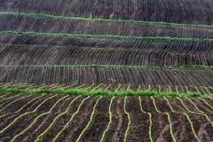 Reihen von Mais wachsend auf dem Gebiet Stockbild