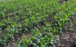 Reihen von Maispflanzen in einem Bauernhof während der Tageszeit Lizenzfreies Stockbild
