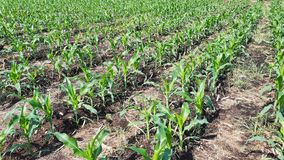 Reihen von Maispflanzen in einem Bauernhof während der Tageszeit Stockbilder