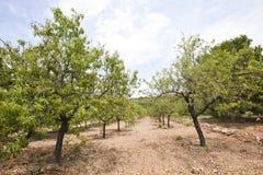Reihen von Mandelbäumen Stockfotografie