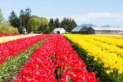 Reihen von mehrfarbigen Tulpen auf einem Feld in Staat Washington, USA Stockfotografie